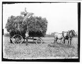 Westflandrica - de oogst op de wagen
