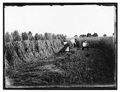 Westflandrica - de oogst van de kortwoner